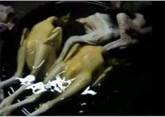Kinh hoàng gà vàng ruộm nhờ… véc-ni làm bóng gỗ