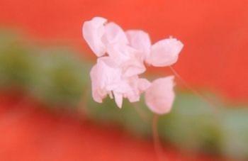 Loài hoa Ưu Đàm huyền thoại