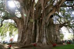 Những cây cổ thụ bí hiểm nhất thế giới