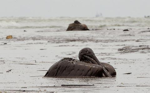 Kể từ khi dầu bắt đầu tràn trên vịnh Mexico
