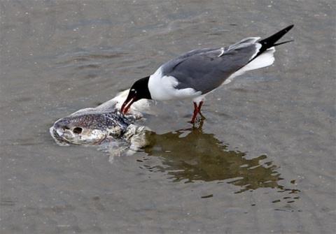 Mòng biển gặp bữa ăn thịnh soạn khi xác một con cá chết vì  dầu dạt vào bờ. Ảnh