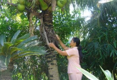 Thu nhập cao từ dừa dứa