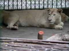 Xem cặp sư tử trắng tiền tỷ ở Việt Nam