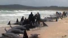 Cá voi dạt hàng loạt vào bờ New Zealand