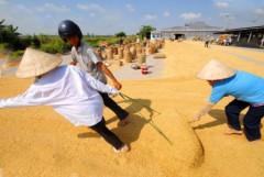 Giá lúa tăng nhẹ, nông dân chưa có lời