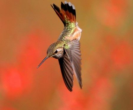 Chim ruồi là động vật nhanh nhất hành tinh