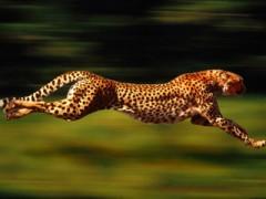 """Nghiên cứu bí ẩn tốc độ """"khủng"""" của loài báo"""