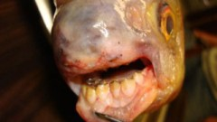 Phát hiện con cá có răng giống người ở Mỹ