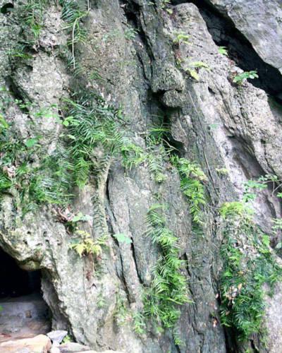 Quảng Bình: Phát hiện cây hóa thạch hàng ngàn năm.