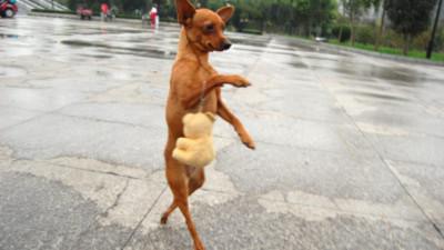 Chú chó Lu Lu khéo léo đi trên hai chân sau. Ảnh: Quirky China.
