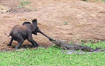Cá sấu cắn vòi voi
