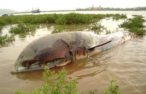 Cá voi 7 tấn trôi dạt trên biển.