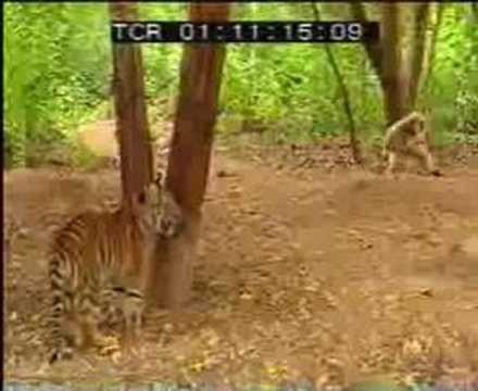 Cuộc chiến giữa Hổ và Khỉ