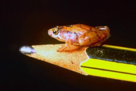 Loài ếch nhỏ bằng hạt đậu