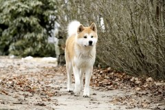 Đoạn video cảm động dựa trên một câu chuyện có thật tại Nhật Bản- Chú chó trung thành