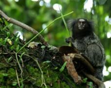 Khỉ đuôi sóc được phát hiện tại rừng Amazon. Ảnh: WWF.