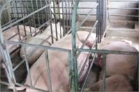 Phú Yên công bố dịch lợn tai xanh