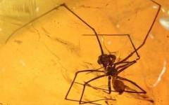 Hóa thạch nhện trong hổ phách
