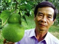 4000 trái bưởi Năm Roi hình hồ lô phục vụ Tết