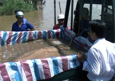 An Giang: Bắt được cá đuối khổng lồ dài gần 3m