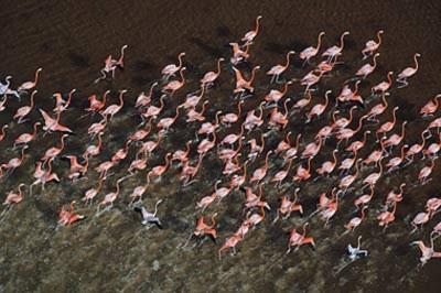 Những chú chim hồng hạc chạy lên bãi cát để tạo thành bức tranh xếp hình. Ảnh: The Sun.