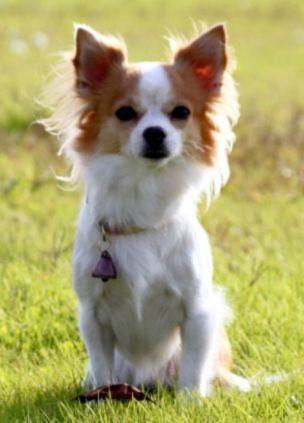 Chó Chihuahua trở thành cảnh sát