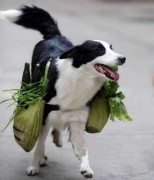 Chú chó có thể đi chợ giúp chủ hàng ngày