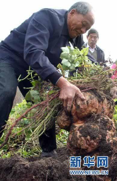 Củ khoai tây nặng 34 kg