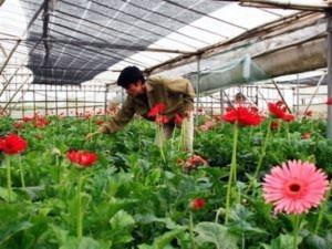 Hà Nội khẩn trương chuẩn bị hoa Tết Nguyên đán