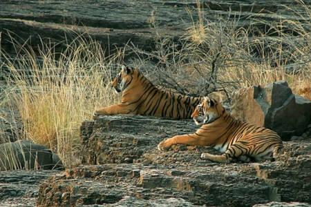 Hổ tìm thấy cả thiên đường lẫn địa ngục ở Ấn Độ