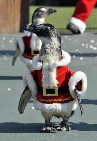 Ngắm chim cánh cụt trong trang phục ông già Noel