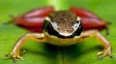Phát hiện loài cóc mắt đỏ rực như máu