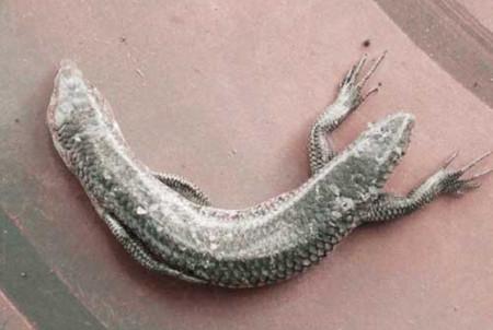 Con rắn có hai đầu và bốn chân. Ảnh: People Daily.