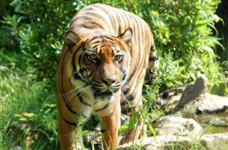 Putin: 'Tương lai bi thảm chờ đợi loài hổ'