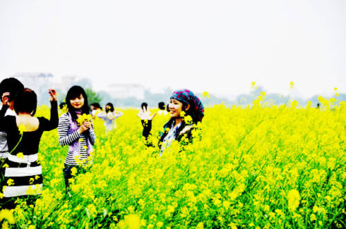 Teen Hà thành mê tạo dáng trước cánh đồng hoa vàng