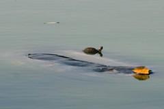 Ai phải chăm lo sức khỏe của Cụ Rùa Hồ Gươm?