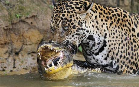 Báo đốm quyết chiến với cá sấu