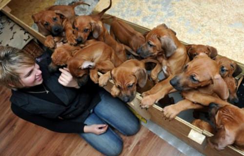 Cô chó sinh 17 con trong một lần