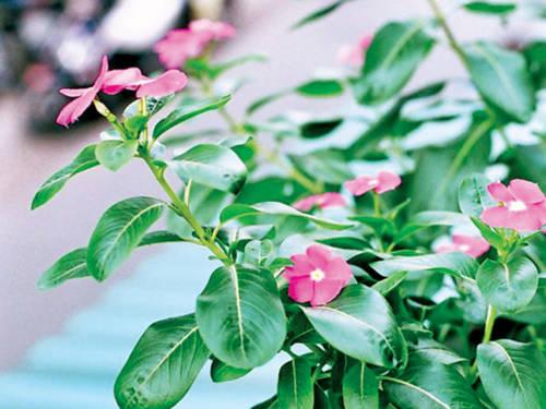 Dùng cây cảnh dừa cạn chiết xuất thuốc trị huyết áp