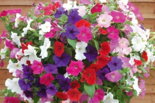 Dã yên thảo thường có màu tím, màu hồng và màu trắng