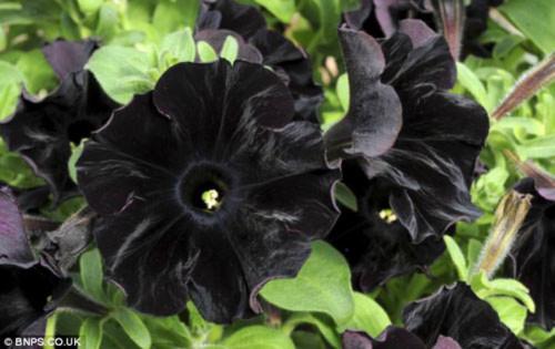 Kỷ lục Thế giới: Hoa Dã yên thảo màu đen đầu tiên