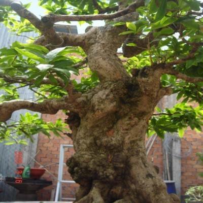 Cây mai chưa cho hoa có thân cây như thân cây cổ thụ (Ảnh: anh Lê Văn Nưng cung cấp)
