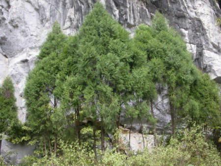 Loài cây bạc triệu ở VN sắp tuyệt chủng