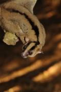 Phát hiện loài vượn cáo có lông vằn hình chữ Y