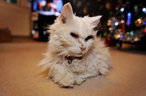 """""""Trưởng lão"""" mèo 118 tuổi, Phi thường - kỳ quặc, chuyen la, chuyen la the gioi, ky luc, con meo gia nhat, meo nhieu tuoi nhat"""