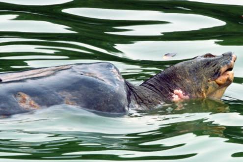 Vết thương mới trên mình cụ rùa hồ Gươm