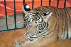 Việt Nam chỉ còn khoảng 30 con hổ tự nhiên