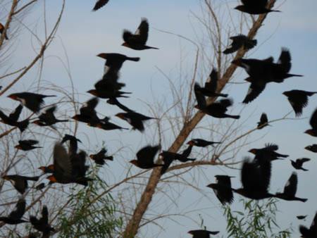 1.000 con chim chết bí ẩn từ trên trời rơi xuống