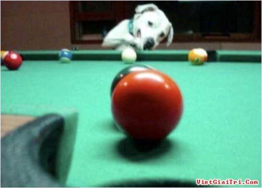Chú chó thích chơi bi-a