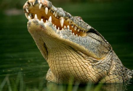 Chuông điện thoại reo trong bụng cá sấu